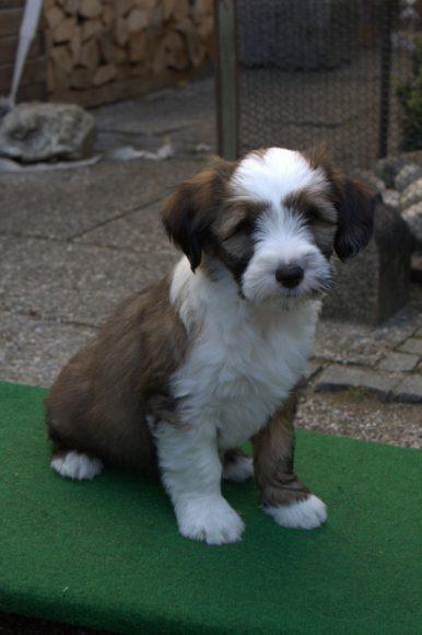 Tibet Terrier Welpen Tra Yerpa Tibet Terrier